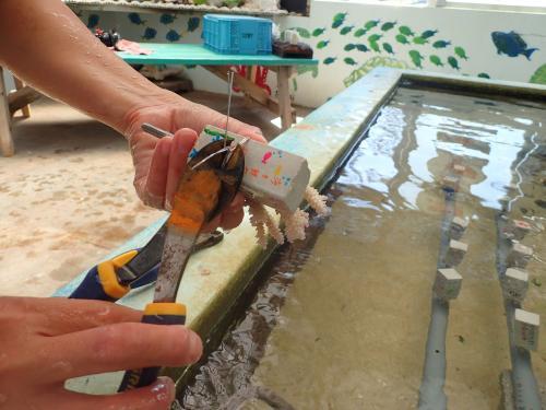 【沖縄】ひとつずつ丁寧にサンゴの苗を作っていきます