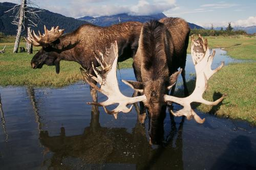 Moose, Photo Courtesy of Visit Anchorage