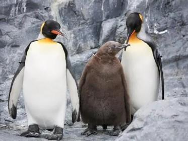 【旭川】ペンギンの親子(イメージ)