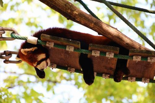 【旭川】旭川動物園で人気!レッサーパンダ