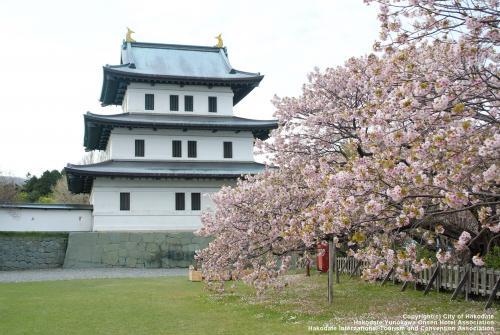 【函館】日本さくら名所100選に選定された松前公園の桜